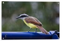 Kiskadee singing in the rain, Acrylic Print