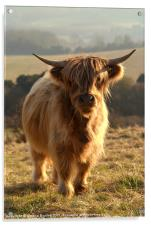 Young Highland Cow, Acrylic Print