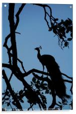 Silhouette of Indian Peacock in Tree, Ranthambore,, Acrylic Print