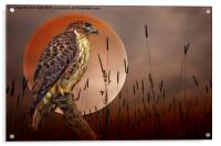 Red Tail Hawk At Rest, Acrylic Print