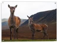 Deer in the Highlands, Acrylic Print