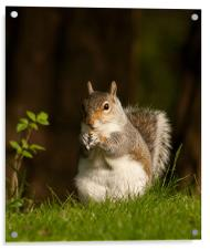 Squirrel  eating nuts in Saltwell Park, Acrylic Print