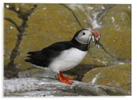 Puffin at Farne Islands with lunch!, Acrylic Print