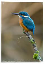 The Common Kingfisher (Alcedo atthis), Acrylic Print