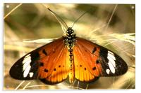 The Butterfly resting, Acrylic Print