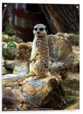 Meerkat - The Poser Canvases & Prints, Acrylic Print