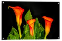 Orange Calla 2, Acrylic Print