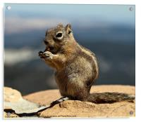 Ground squirrel from Utah., Acrylic Print