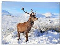 Deer Stag in snow, Acrylic Print