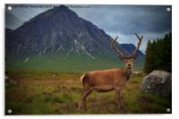 Monarch of the Glen at the Buachaille , Acrylic Print