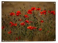 the irresistible attraction of poppies, Acrylic Print