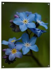 Forget Me Not flower, Acrylic Print