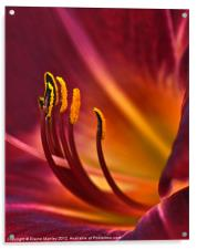 Day Lily, Acrylic Print