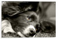 Loveable Rescued Border Collie dog, Acrylic Print