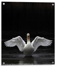 Mute Swan stretching it's wings, Acrylic Print