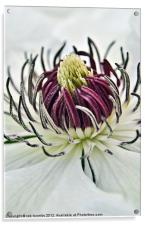 NECTAR OF A CLEMATIS, Acrylic Print