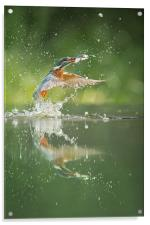 Kingfisher with catch., Acrylic Print