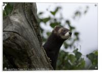 Polecat on the lookout, Acrylic Print