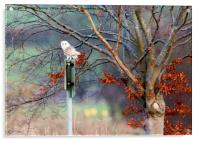 Barn Owl on Sign Post, Acrylic Print