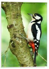Great Spotted Woodpecker, Acrylic Print