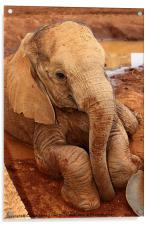 Baby Elephant Resting After Play, Acrylic Print