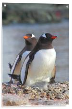 Pair of Gentoos With Chick, Acrylic Print