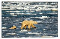 Polar Bears in Hudson Bay, Canada, Acrylic Print