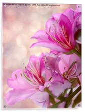 Pink Delight 2, Acrylic Print
