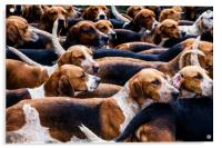 A Pack of fox Hounds., Acrylic Print