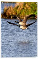 Canada Geese in flight, Acrylic Print