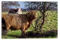 Highland cattle and a gnarled tree, Acrylic Print