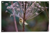 Young Willow Warbler perched in Cow Parsley, Acrylic Print