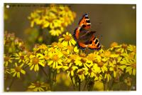 Tortoiseshell butterfly in September sunshine, Acrylic Print