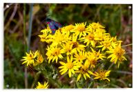 Insects on Common Ragwort, Acrylic Print