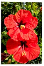 Blood-red Hibiscus, Acrylic Print