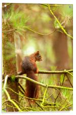 Red squirrel hanging around, Acrylic Print