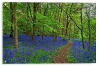 Woolley Wood  Bluebells                           , Acrylic Print