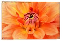 Just peachy, my Dahlia., Acrylic Print