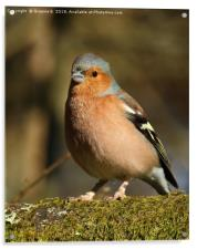 Chaffinch with a mouthful, Acrylic Print