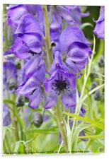 Monkshood in Bloom , Acrylic Print