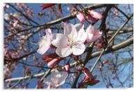 Cherry Blossom in March, Acrylic Print
