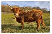 Highland Cow in Yorkshire, Acrylic Print