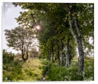 The path by the birch trees, Acrylic Print