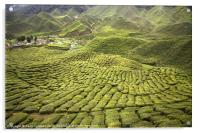 Tea Plantation, Acrylic Print