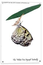 """The beautiful """"White Tree Nymph"""" butterfly, Acrylic Print"""