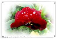 Bright red pansy, Acrylic Print