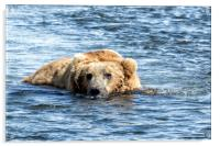 Brown Bear Cooling Off, Acrylic Print