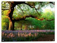 Oak Tree Canopy with Bluebells, Acrylic Print