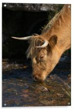 Highland Cow Drinking From A Stream, Acrylic Print