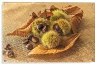 Sweet Chestnut seed pods, Acrylic Print